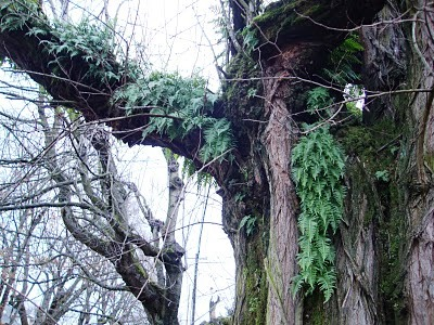 Болезни плодовых деревьев - борьба с мхом (10)