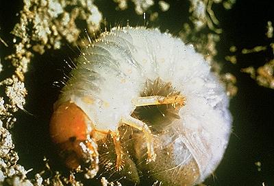Борьба с майским жуком - борьба с личинкой майского жука (6)