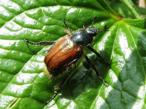 Борьба с майским жуком - борьба с личинкой майского жука (9)