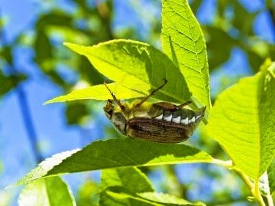 Борьба с майским жуком - борьба с личинкой майского жука (10)