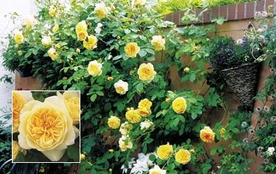 Садовые вьющиеся цветы - растение лиана - вертикальное озеленение своими руками (1)