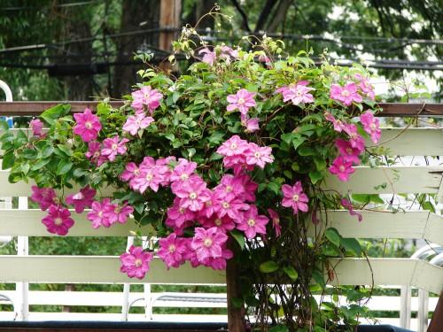 Садовые вьющиеся цветы - растение лиана - вертикальное озеленение своими руками (5)