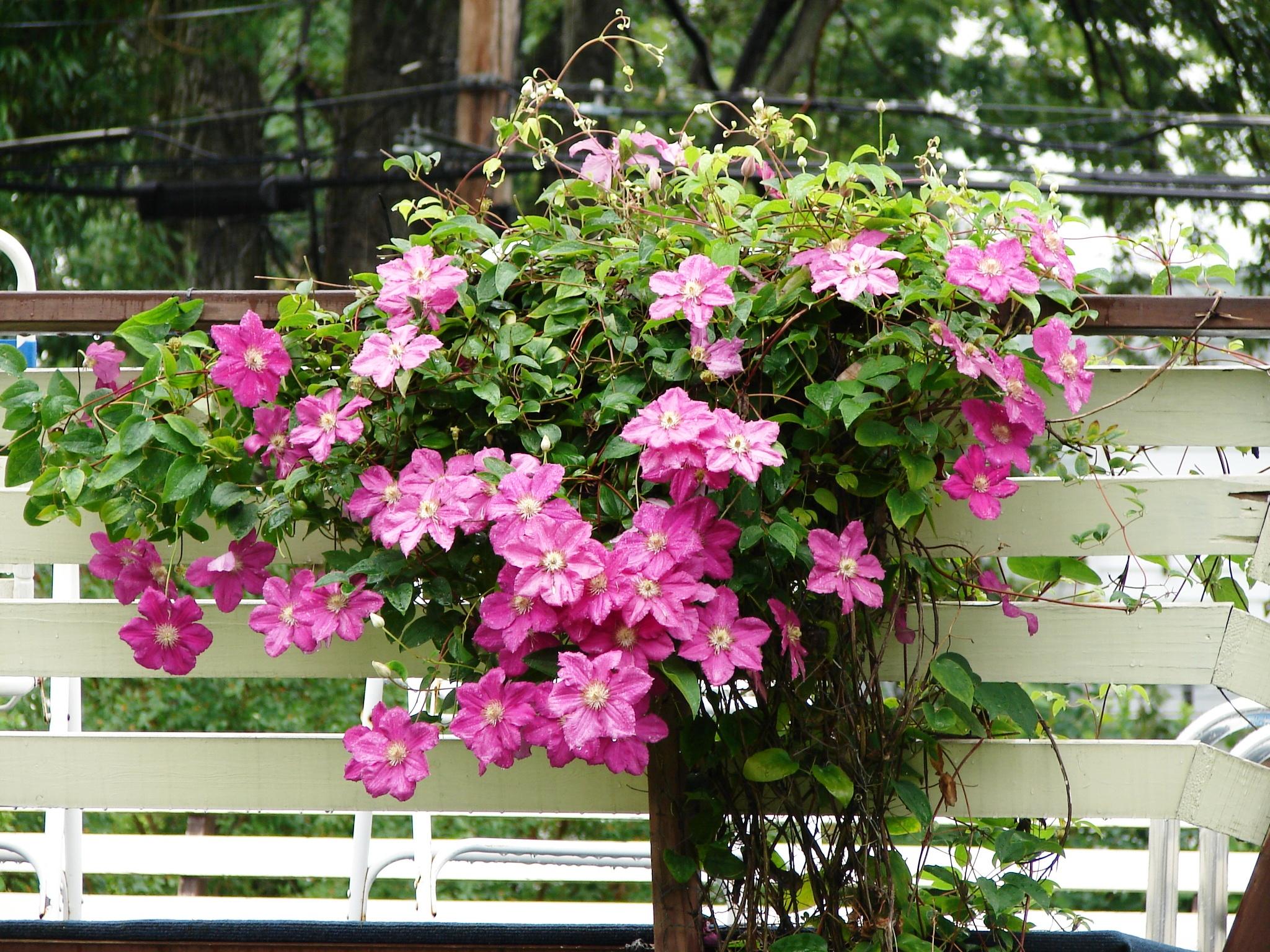 Какие цветы есть вьющийся фото