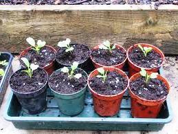 Выращивание овощей в теплицах - как вырастить капусту и помидоры (2)