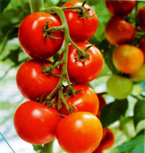 Выращивание овощей в теплицах - как вырастить капусту и помидоры (12)