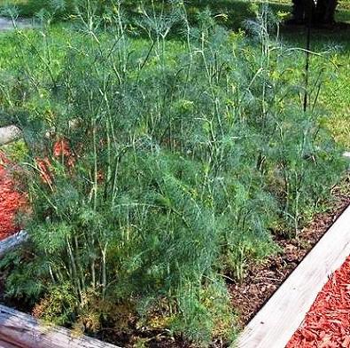 Выращивание укропа - польза укропа (2)