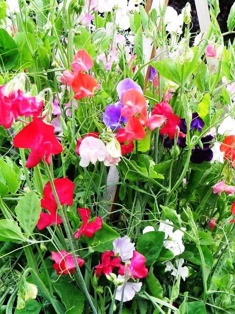 Душистый горошек - вьющиеся цветы (2)