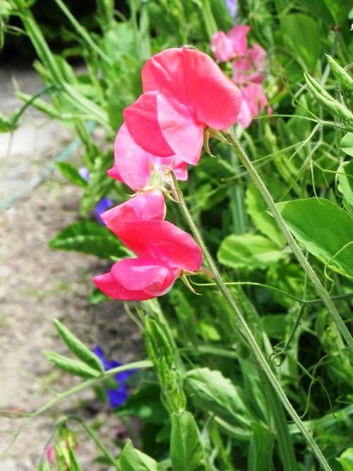 Душистый горошек - вьющиеся цветы (6)