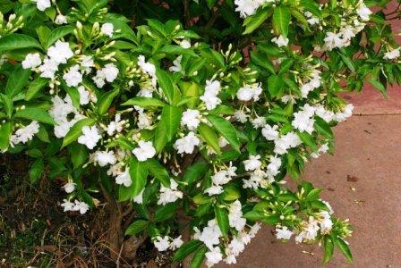 Жасмин домашний - многолетние цветы на даче (1)