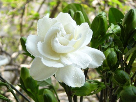 Жасмин домашний - многолетние цветы на даче (4)