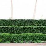 Живая изгородь на даче - растения для живой изгороди (1)