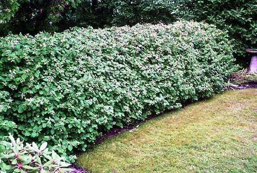 Живая изгородь на даче - растения для живой изгороди (20)