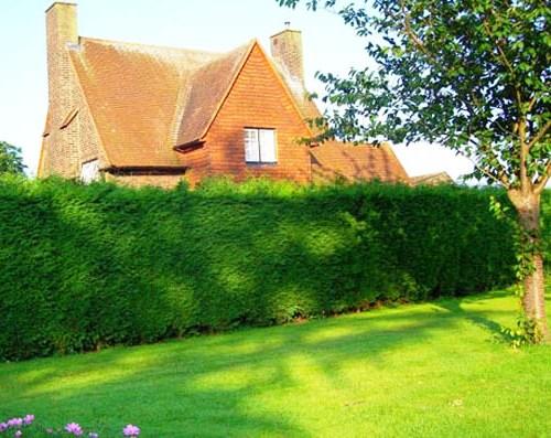 Живая изгородь на даче - растения для живой изгороди (23)