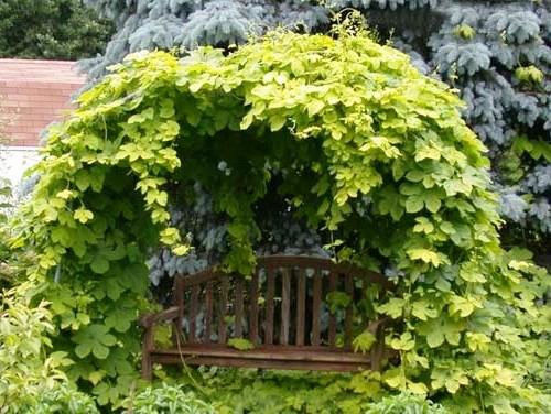 Живая изгородь на даче - растения для живой изгороди (21)