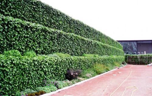 Живая изгородь на даче растения для
