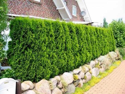 Живая изгородь на даче - растения для живой изгороди (5)