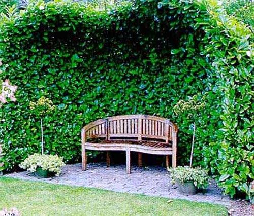 Живая изгородь на даче - растения для живой изгороди (8)