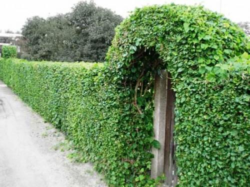 Живая изгородь на даче - растения для живой изгороди (9)