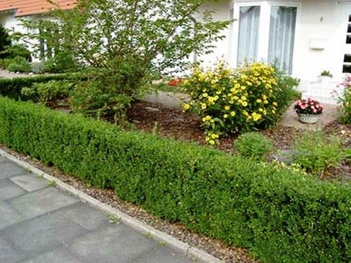 Живая изгородь на даче - растения для живой изгороди (11)