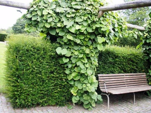 Живая изгородь на даче - растения для живой изгороди (12)