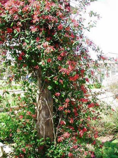 Живая изгородь на даче - растения для живой изгороди (17)