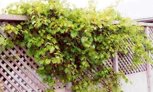 Живая изгородь на даче - растения для живой изгороди (18)