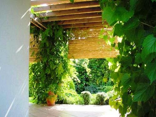 Живая изгородь на даче - растения для живой изгороди (19)