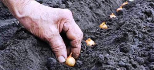 Лук репчатый - выращивание (1)