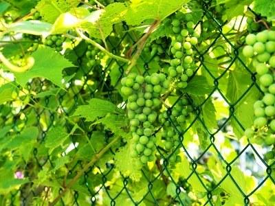 Вертикальное озеленение сада - озеленение территории (1)