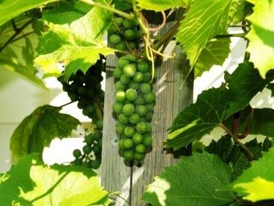 Вертикальное озеленение сада - озеленение территории (3)