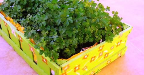 Полезные свойства петрушки - выращивание петрушки (5)