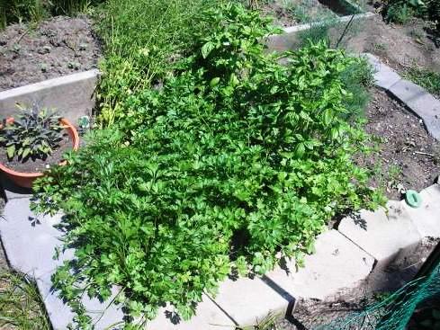 Полезные свойства петрушки - выращивание петрушки (9)