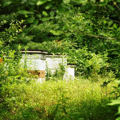 Пчеловодство для чайников - как заниматься пчеловодством (1)