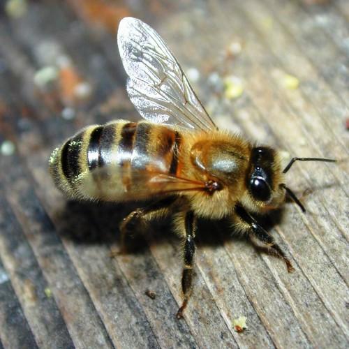 Пчеловодство для чайников - как заниматься пчеловодством (2)