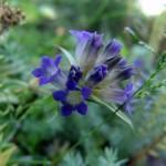Мавританский газон - цветущий газон (1)