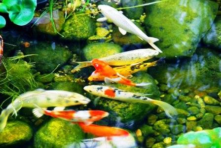 Разведение рыб в пруду (4)