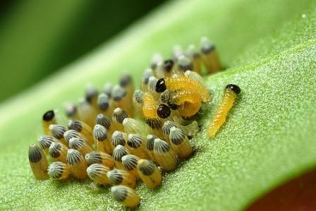 Гусеница на капусте (1)