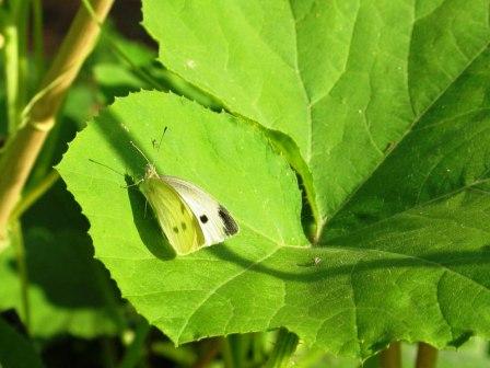 Гусеница на капусте (4)