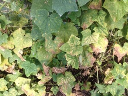 Почему у огурцов желтеют листья (2)