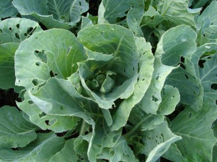 Средства борьбы с вредителями капусты (1)
