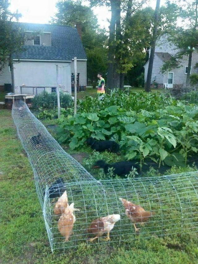 Вольер для цыплят для выгула