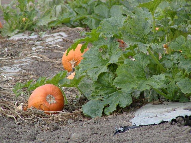 Как вырастить тыкву в вашем огороде