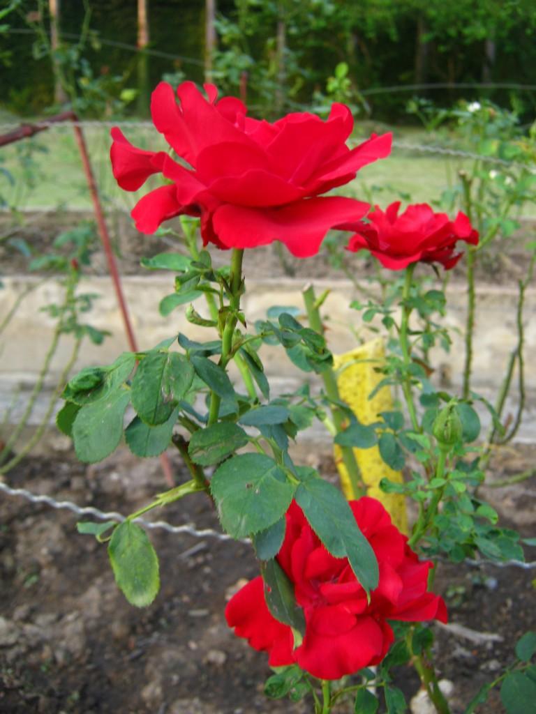 срезанная красная роза