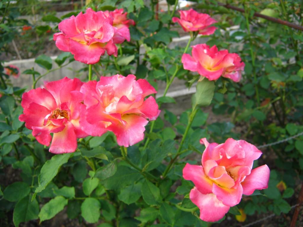 Как и когда правильно пересаживать розы. Удобрение роз.
