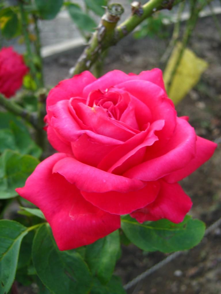 защита роз зимой