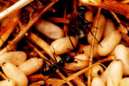 Методы борьбы с муравьями - как вывести муравьев (1)