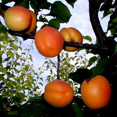 Посадка абрикоса - уход за деревом (2)