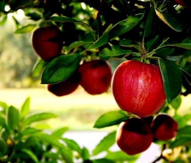 Яблоня уход - выращивание яблони (4)