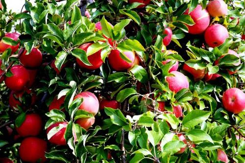 Яблоня уход - выращивание яблони (7)