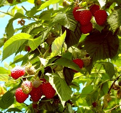 Посадить малину - малина уход (1)
